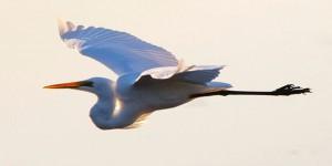 Pelican, Geoff White